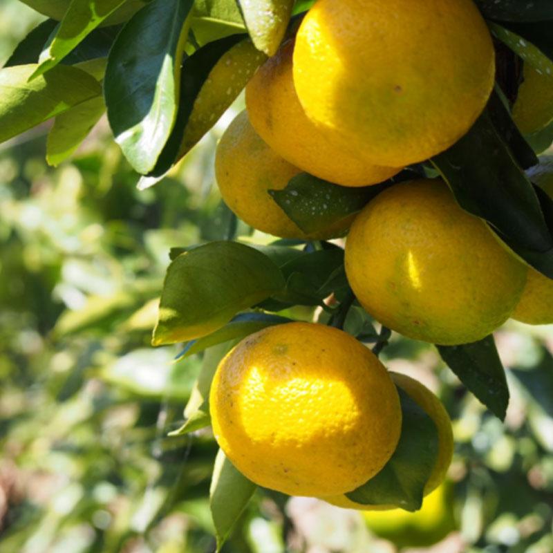 japanese citrus fruits