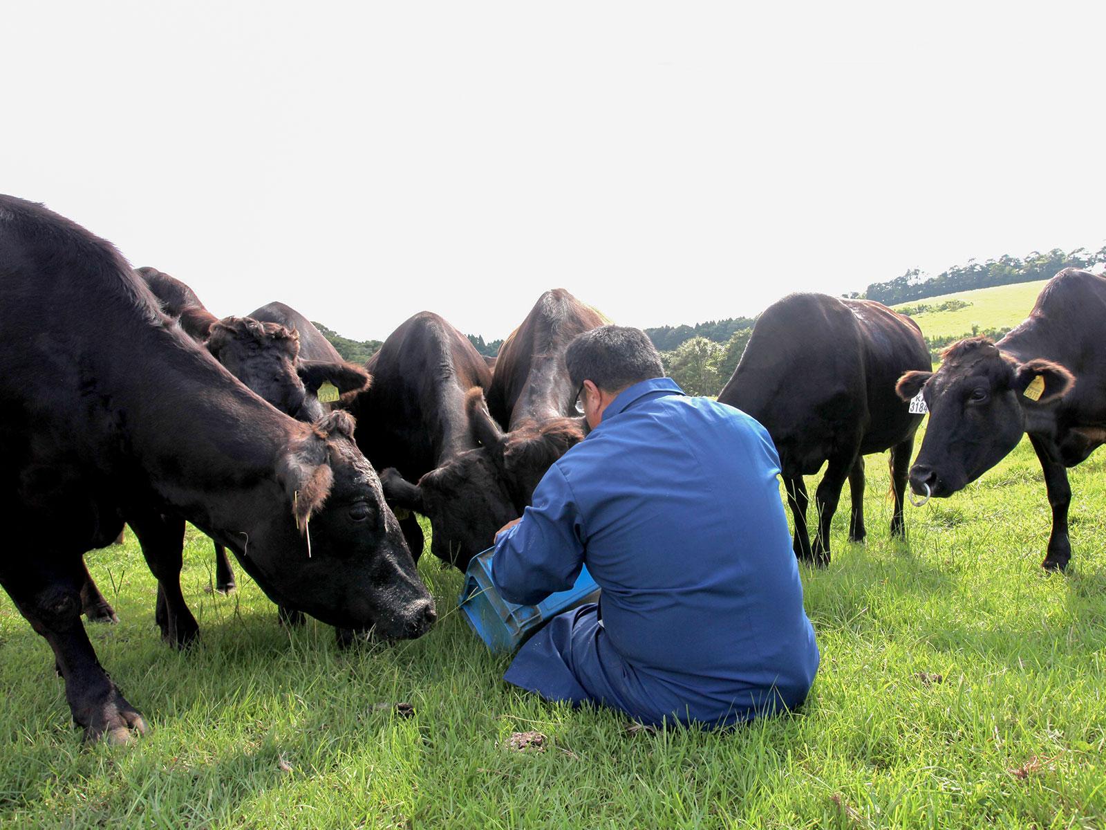Kagoshima black cattle
